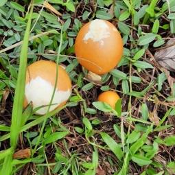 로마 황제 이름으로도 불리는 '달걀버섯' 1㎏에 50만동까지도